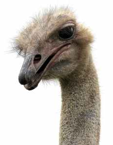 Image (3) stock-ostrich.jpg for post 78653