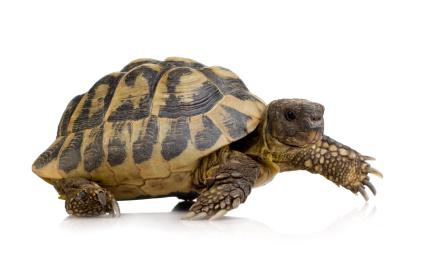 iStock_turtle