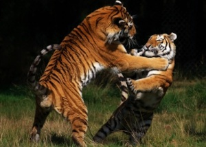 Siberian Tigers in fight