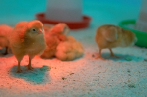 Chickens after incubator