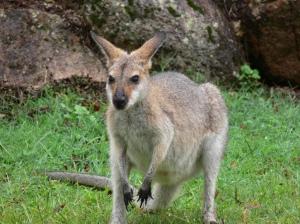 KangarooAustralia