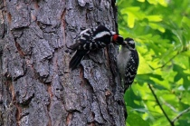 woodpeckers sharing