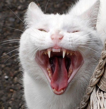 Cat With Fangs