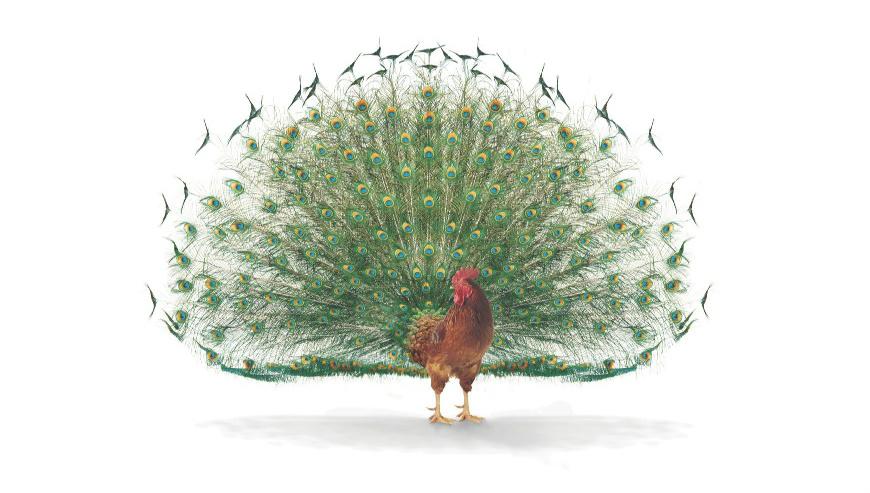 charismatic cock