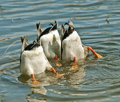 Photo of Ducks by Daniel Alvarez via ShutterStock