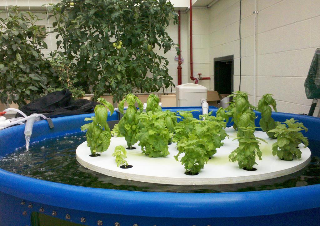 Lettuce grown via BrightFarm's supermarket growing method.