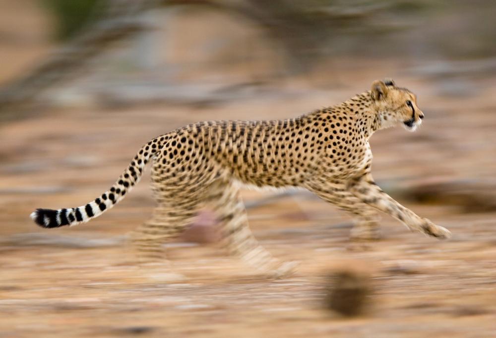 Cheetah running fast
