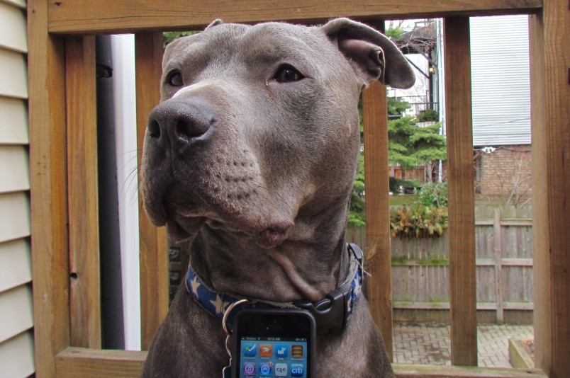 Dog with iPhone (Hippo the connected pit bull)