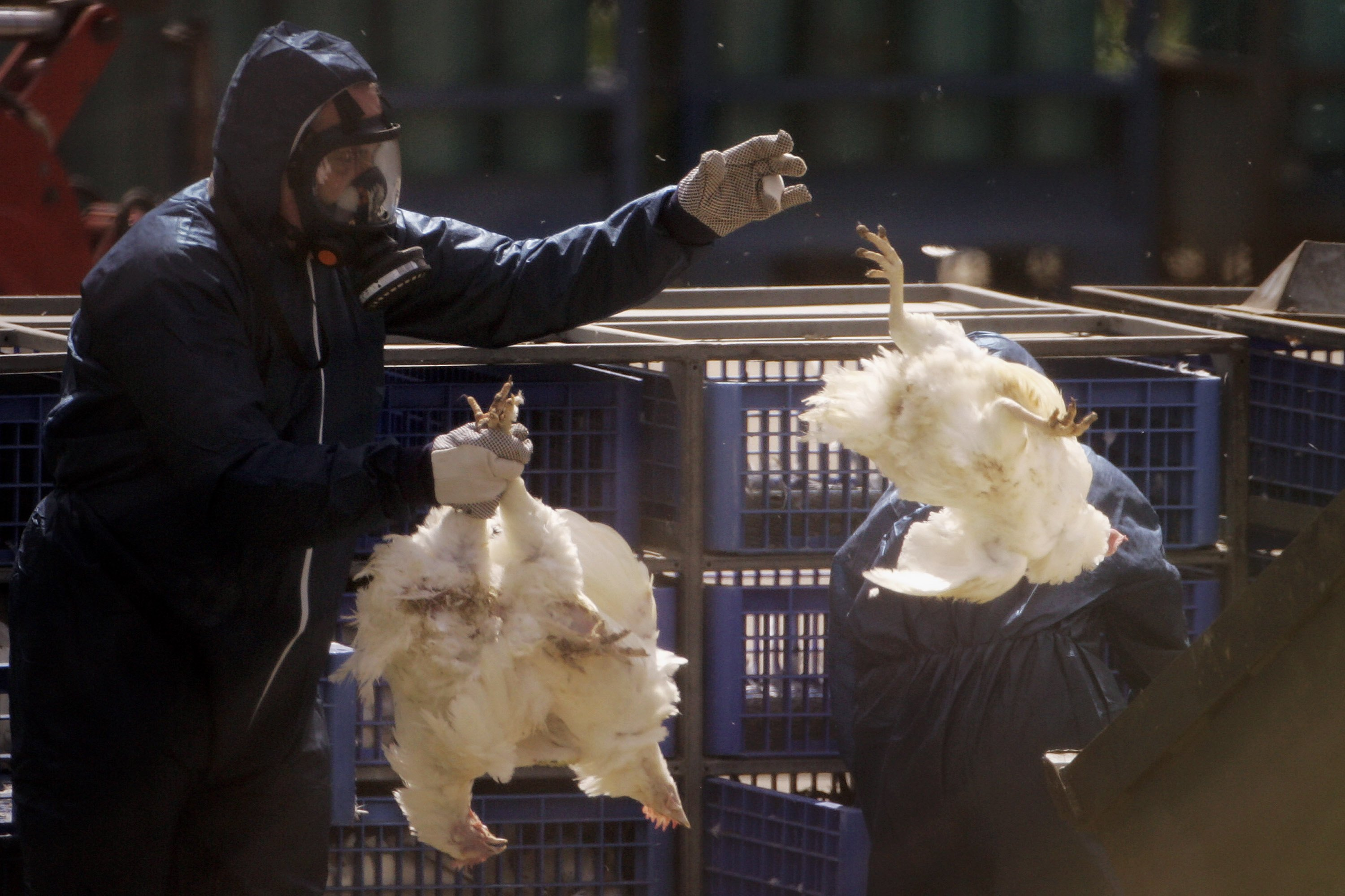 Culling the bird flu epidemic.  Getty Images.