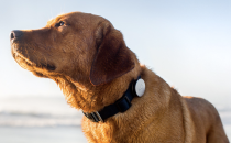 The Whistle canine activity tracker (source: Whistle)