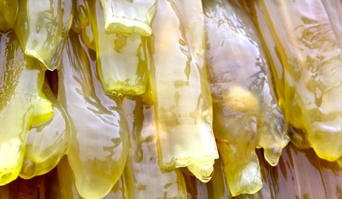 Tunicate marine creature