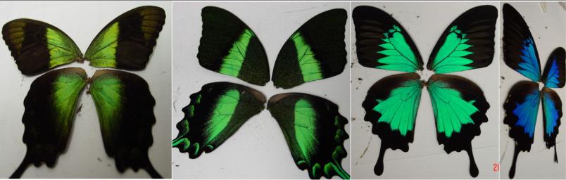 Papilio butterflies