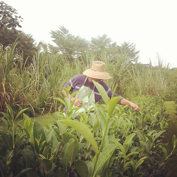 An Hawaiian tea grower picking his crop. Source: Tealet