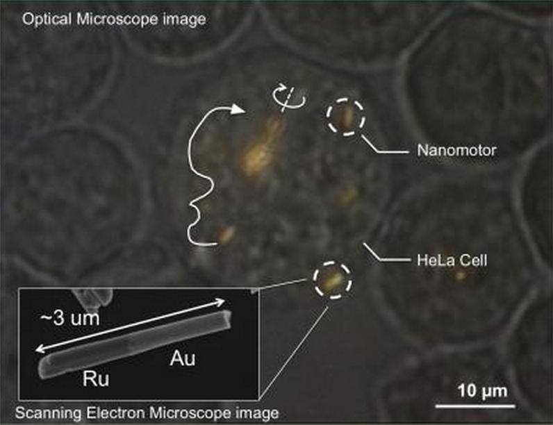 A nanomotor inside a HeLa Cell. Photo courtesy of Mallouk lab, Penn State University.