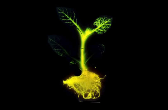 An early rendering of a glowing plant. Photo courtesy of the Glowing Plant Project.