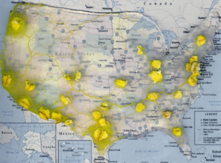 Physarum polycephalum, a type of slime mold, creates an optimized model of the U.S. interstate system. Photo from: Adamatzky A., Ilachinski A. Slime Mold Imitates the United States Interstate System. Complex Systems 21 (2012) 1-20.