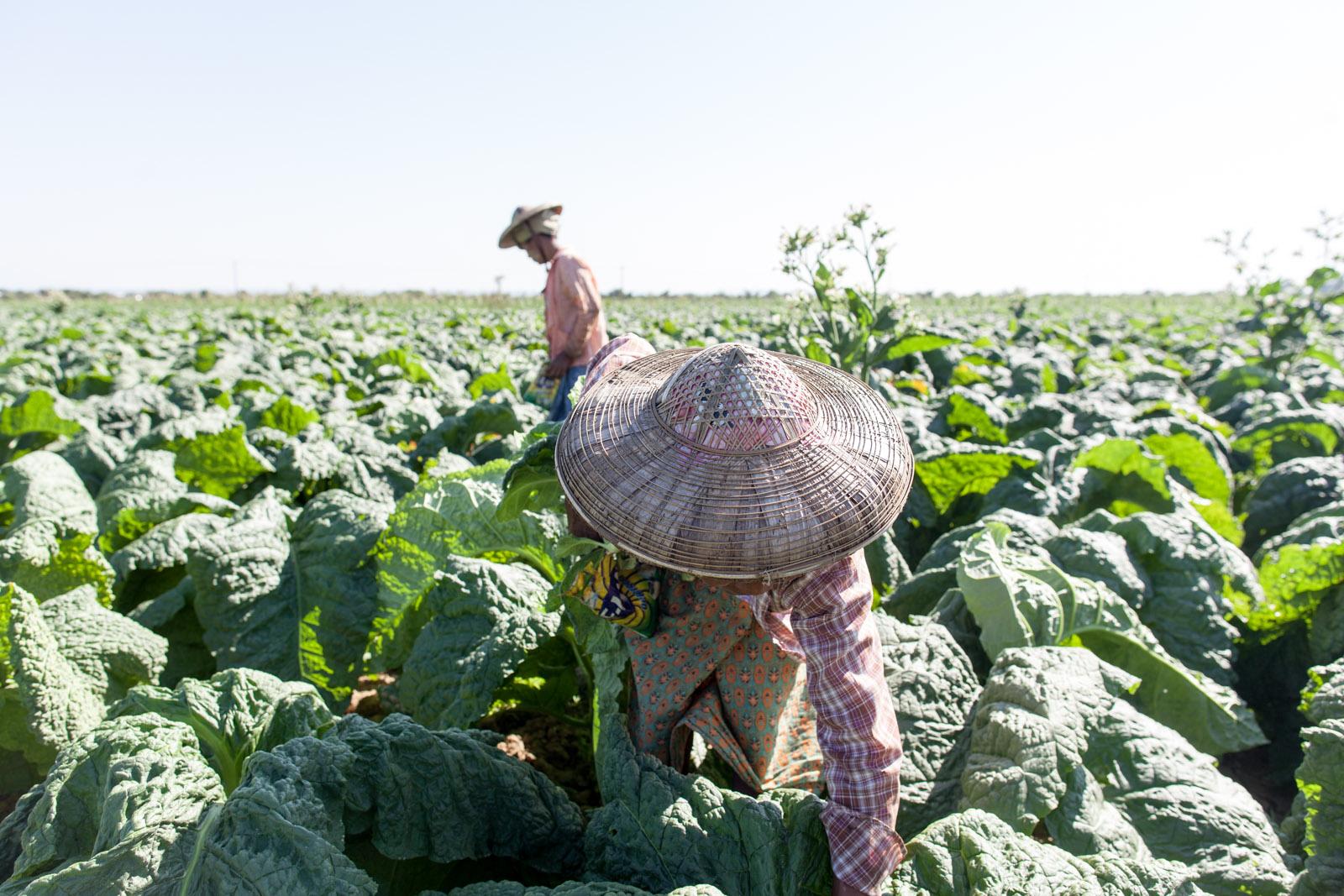 Tobacco farm, Pakkoku, Myanmar
