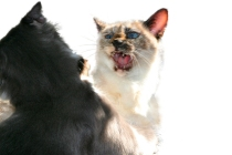 cat fight generic