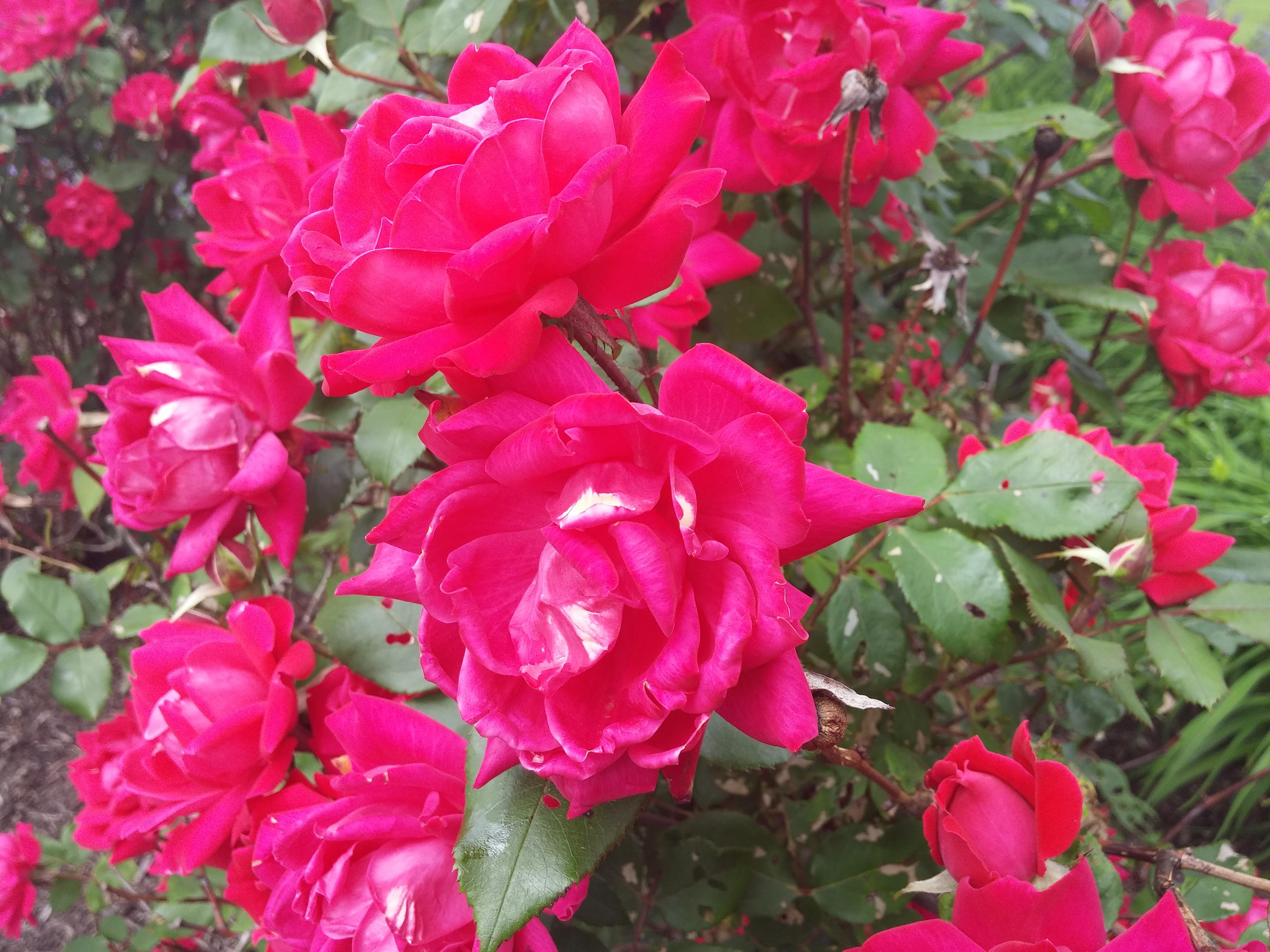 LG G3 rose