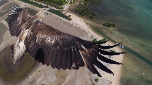 Eagle and drone