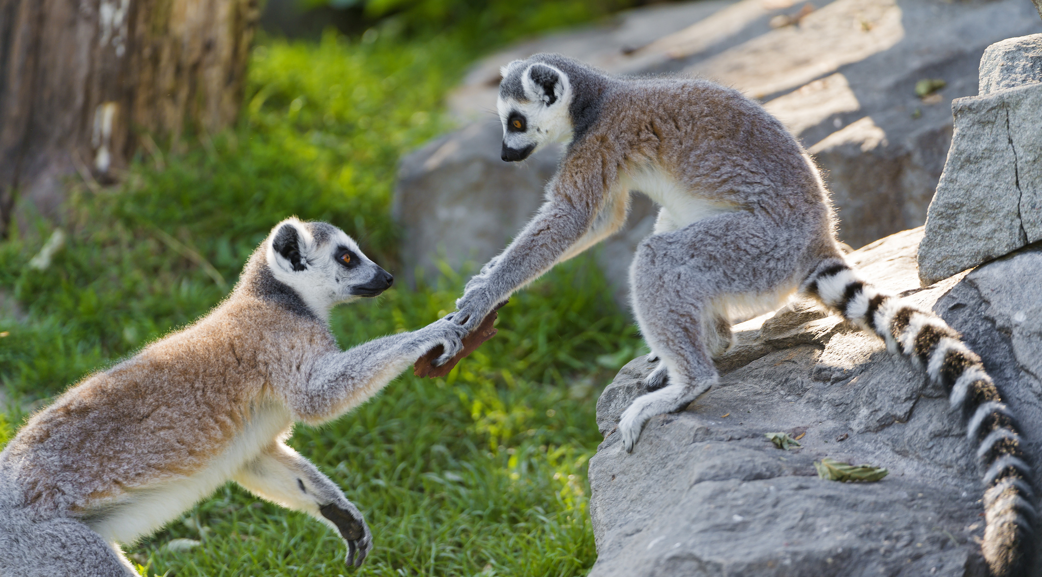 Help, lemurs, friends