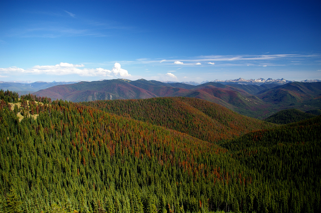 A forest in British Columbia, with pine beetle outbreak.
